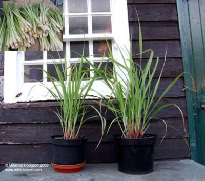 natural-methods-to-drive-away-mosquitoes-using-lemong-grass